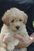 Labradoodle Puppy For Sale in SUNBURY, PA, USA