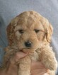 Labradoodle Puppy For Sale in AUGUSTAVILLE, PA, USA