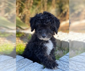 Miniature Bernedoodle Puppy for sale in AUSTIN, TX, USA