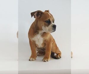 Bulldog Puppy for sale in LINDEN, VA, USA