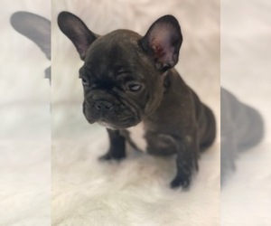 French Bulldog Puppy for sale in SYLMAR, CA, USA