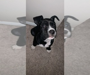 American Pit Bull Terrier Puppy for sale in ALEXANDRIA, VA, USA