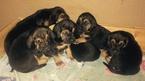 Small Bloodhound