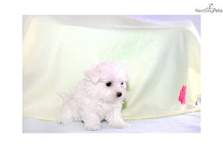 Maltese Puppy for sale in AUSTIN, TX, USA
