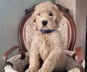 Labradoodle Puppy For Sale in REDMOND, Oregon,