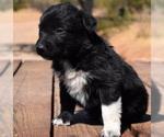 Australian Shepherd Puppy For Sale in MARANA, AZ, USA