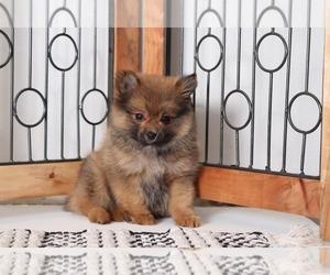 Pomeranian Puppies for Sale near Orlando, Florida, USA, Page 1 (10