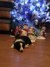 Border Collie Puppy For Sale in JACKSON, KY