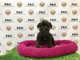 Schnauzer (Miniature) Puppy For Sale in TEMPLE CITY, CA, USA