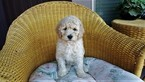 Labradoodle Puppy For Sale in REDMOND, OR,