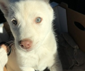 Siberian Husky Puppy for sale in LYNNWOOD, WA, USA