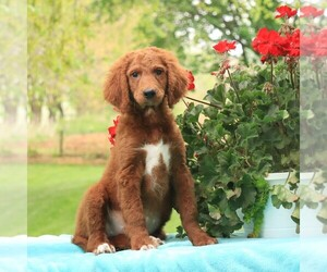 Goldendoodle Puppy for sale in GAP, PA, USA
