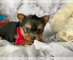 Australian Yorkshire Terrier Puppy for sale in LANCASTER, PA, USA
