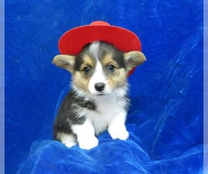 Pembroke Welsh Corgi Puppy for Sale in NORWOOD, Missouri USA