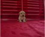 Puppy 9 Goldendoodle (Miniature)