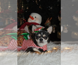 Mother of the Chihuahua puppies born on 11/08/2020