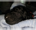Small Photo #10 Poodle (Standard) Puppy For Sale in DYERSBURG, TN, USA