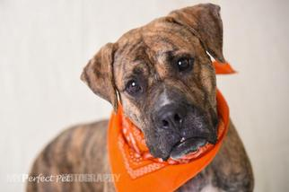 Masti-Bull Dog For Adoption in Fort Lauderdale, FL