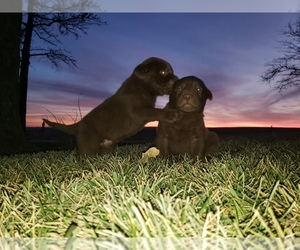 Labrador Retriever Puppy for Sale in MORRILL, Kansas USA