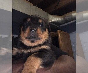 Rottweiler Puppy for sale in INDIANAPOLIS, IN, USA