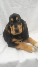 Bloodhound Puppy For Sale in TROY, TN