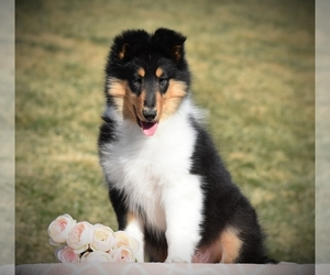 Collie Puppy for sale in DANVILLE, PA, USA