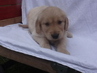 Golden Retriever Puppy For Sale in FORT WAYNE, IN, USA