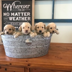 Goldendoodle Puppy For Sale in ALEXANDRIA, IN, USA