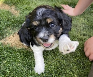 Cocker Spaniel Puppy for Sale in QUEEN CREEK, Arizona USA