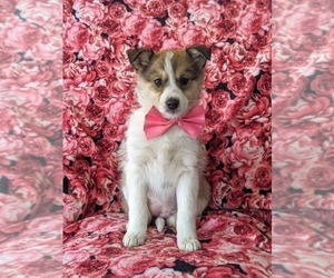 Pomsky-Shetland Sheepdog Mix Puppy for sale in QUARRYVILLE, PA, USA