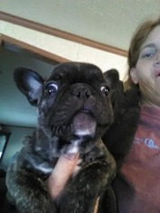 French Bulldog Puppy For Sale in AUGUSTA, KY, USA