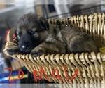 Puppy 13 German Shepherd Dog