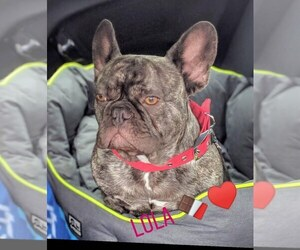 Mother of the French Bulldog puppies born on 05/12/2019