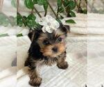 Small #10 Yorkshire Terrier