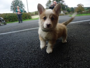 Pembroke Welsh Corgi Puppy For Sale in SANTA ROSA, CA