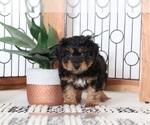 Maverick Sweet Male Mini Aussiepoo puppy