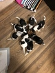 Beagle Puppy For Sale in LYNN, Massachusetts,