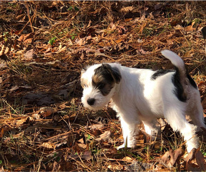 Jack Russell Terrier Puppy for Sale in CLEVELAND, Tennessee USA