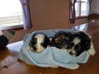 Poodle (Miniature)-Shorkie Tzu Mix Puppy For Sale in HINDSBORO, IL, USA