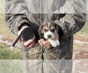 Beagle Puppy for sale in GRAFTON, WI, USA