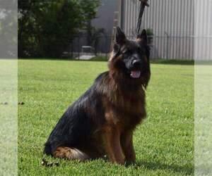 German Shepherd Dog Puppy for Sale in CYPRESS, Texas USA