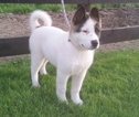 Akita Puppy For Sale in FRESNO, OH,