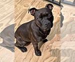 Small #5 Staffordshire Bull Terrier