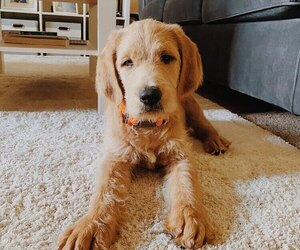Labradoodle Puppy for sale in CAVE CREEK, AZ, USA
