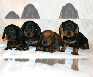 Dachshund Puppy for Sale in LAKESIDE, California USA