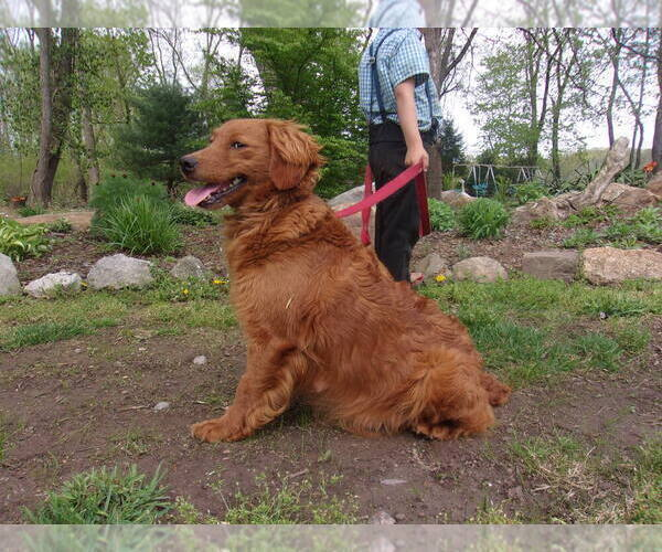 Medium Photo #1 Goldendoodle-Poodle (Miniature) Mix Puppy For Sale in MILLERSBURG, PA, USA