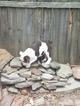 English Bulldogge Puppy For Sale in WALDORF, MD