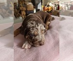 Puppy 8 Catahoula Leopard Dog