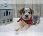 Small #2 Australian Cattle Dog