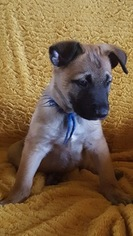 Belgian Malinois Puppy For Sale in GEORGETOWN, TX